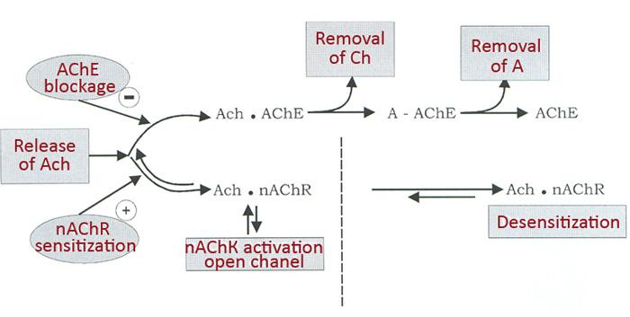 Схема. Механизм действия